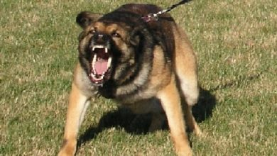 Photo of Report: LASD Dogs Only Bit Blacks And Latinos in First Six Months of 2013