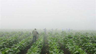 Photo of Report Highlights Child Labor on US Tobacco Farms