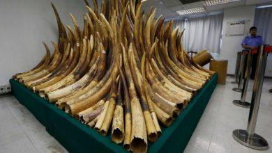 Photo of Hong Kong Starts Destroying Ivory Cache