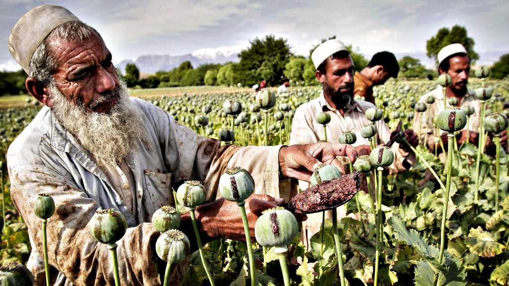 Afghan farmers collect raw opium as they work in a poppy field in Khogyani district of Jalalabad, east of Kabul, Afghanistan, Friday, May 10, 2013.  (AP Photo/Rahmat Gul)
