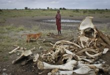 Photo of 100,000 Elephants Killed in Africa, Study Finds