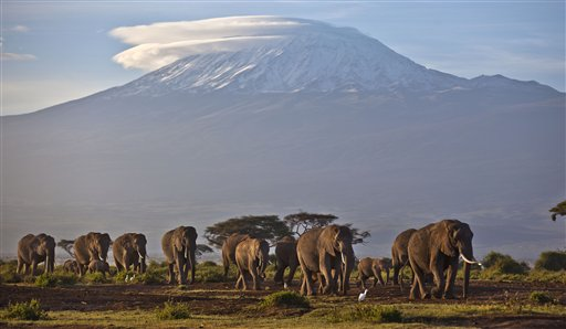 In this Monday, Dec. 17, 2012 file photo, a herd of adult and baby elephants walks in the dawn light across Amboseli National Park in southern Kenya, with the highest mountain in Africa, Mount Kilimanjaro in Tanzania, seen behind. A new study released Monday Aug. 18, 2014, by lead author George Wittemye of Colorado State University, found that the proportion of illegally killed elephants has climbed to about 65 percent of all African elephant deaths, accounting for around 100,000 elephants killed by poachers between 2010 and 2012. (AP Photo/Ben Curtis, File)