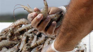 Photo of Study: Mislabeled Shrimp at Restaurants, Grocers