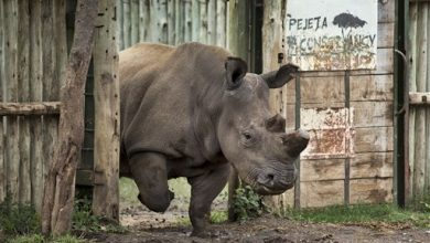 Photo of Rhino Species to Die Unless Science Can Help