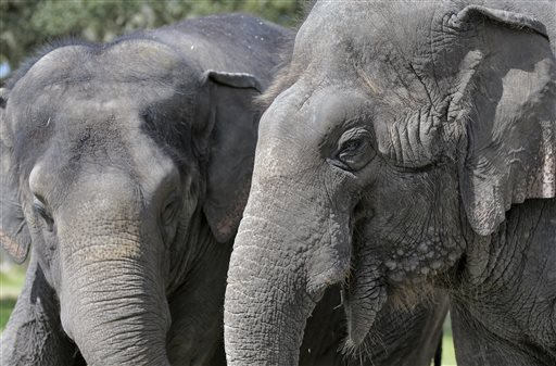 In this Tuesday, March 3, 2015 photo, elephants Icky, right, and Alana stand together at the Ringling Bros. and Barnum & Bailey Center for Elephant Conservation, in Polk City, Fla. The Ringling Bros. and Barnum & Bailey Circus said it will phase out its iconic elephant acts by 2018. (AP Photo/Chris O'Meara)