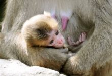Photo of No Offense to Royals: Monkey in Japan Keeps Name Charlotte