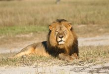 Photo of Zimbabwe Partially Lifts Ban on Big Game Hunting Around Cecil's Park