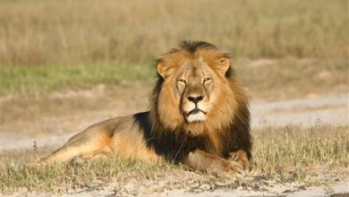 Photo of Zimbabwe: American Lion Killer's Extradition Being Sought