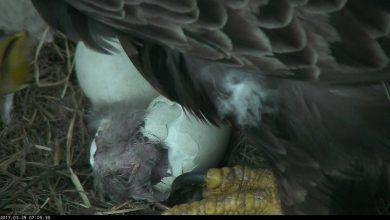 Photo of Two Bald Eaglets Born at D.C. Arboretum