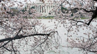 Photo of Cherry Blossom Festival Launches Virtually