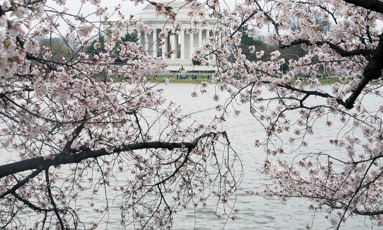 **FILE** The splendor of D.C.'s cherry blossoms (Shevry Lassiter/The Washington Informer)