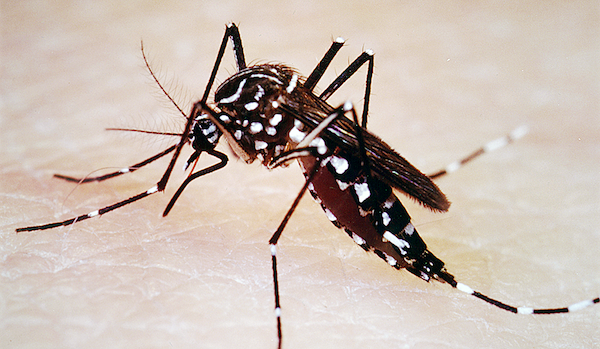The World Health Organization describes mosquitoes as the world's deadliest animal. (Leonard E. Munstermann/Yale University)