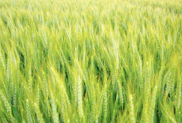A field of green (Courtesy photo)