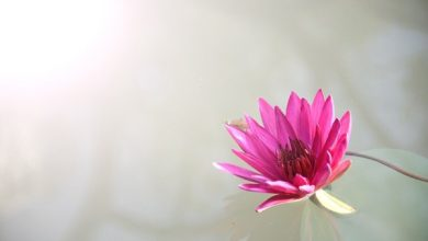Photo of THE RELIGION CORNER: A Lesson from the Lotus Flower