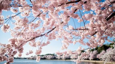 Photo of 2020 Cherry Blossom Press Conference (Video by Ulrich Funou)