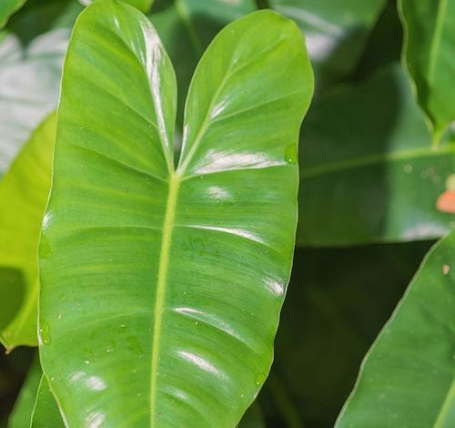 Indoor plants like the Elephant Ear Philodendron cut toxins from homes and offices. (Courtesy photo)