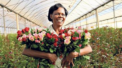 Photo of Kenyan Growers Send 'Flower of Hope' as Major Markets Dry Up