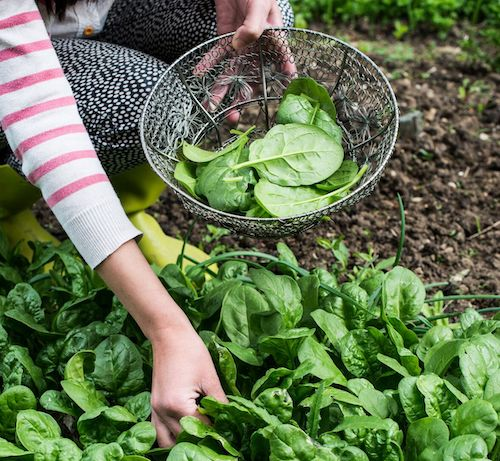 Local organizations like DC Urban Gardens are striving to increase healthy food access and replace the food deserts within these communities with greenspace ripe for harvesting fresh produce.