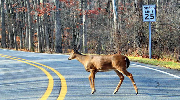 A deer crosses the road in Montgomery County. (Courtesy photo)